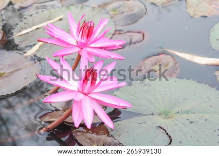 Pink lotus bloom in the marshes in rural areas.