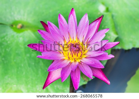 pink lotus blooming on lake  - stock photo