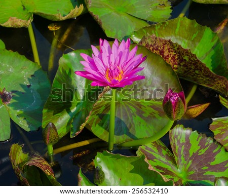 pink lotus blossom and bud growth, which are both above the water beautifully. - stock photo