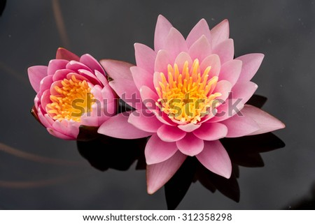 Pink lotus blossoms blooming on pond - stock photo
