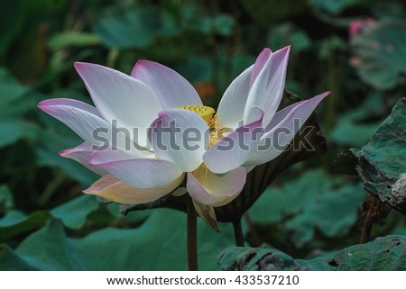 Pink lotus blossoms or water lily flowers blooming on pond, flowers . - stock photo