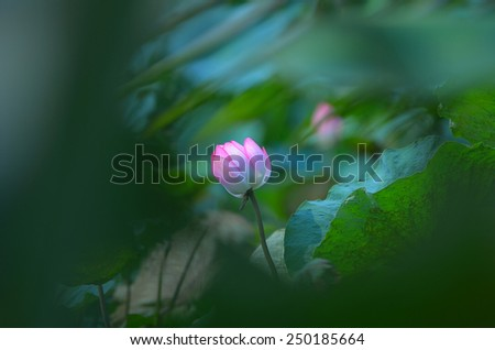 Pink lotus boom, focus on center of flower. Green lotus leaves in background soft focus. - stock photo