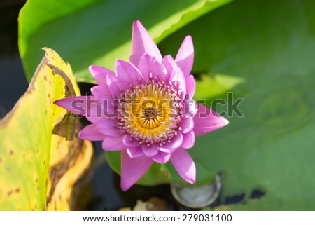 pink  lotus bud above the water. - stock photo