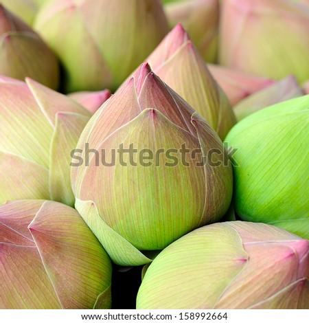 Pink lotus bud background - stock photo
