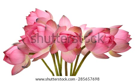 pink lotus bud isolated on the white background