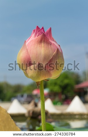pink lotus bud with the leaf under sunlight - stock photo