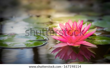 Pink lotus flot on the river gardent. - stock photo