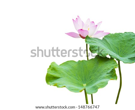 pink lotus flower and leaf isolated on white