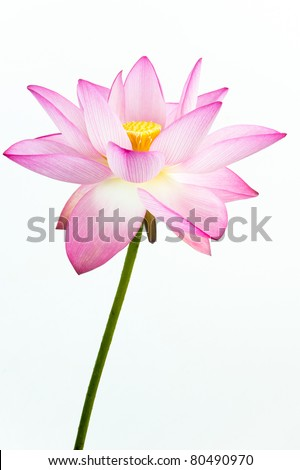Pink lotus flower and white background. The lotus flower (water lily) is national flower for India. Lotus flower is a important symbol in Asian culture. - stock photo