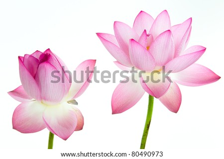 Pink lotus flower and white background. The lotus flower (water lily) is national flower for India. Lotus flower is a important symbol in Asian culture.
