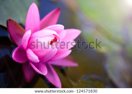Pink lotus flower background - stock photo