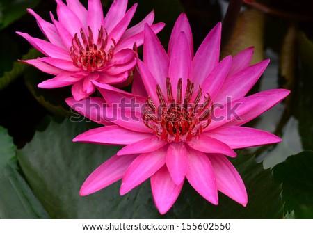 Pink Lotus flower beautiful lotus. - stock photo
