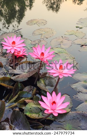 Pink lotus flower blooming in the morning at the river in rural Thailand. - stock photo