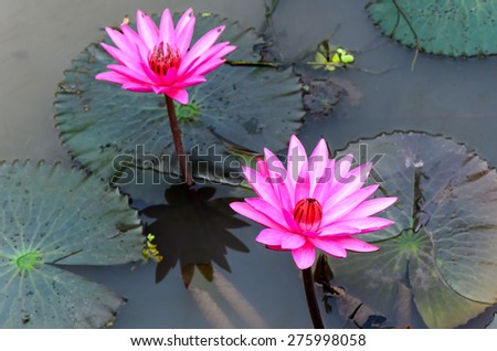 Pink lotus flower blooming in the pool a couple. - stock photo