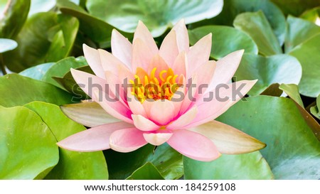 Pink lotus flower in a pond