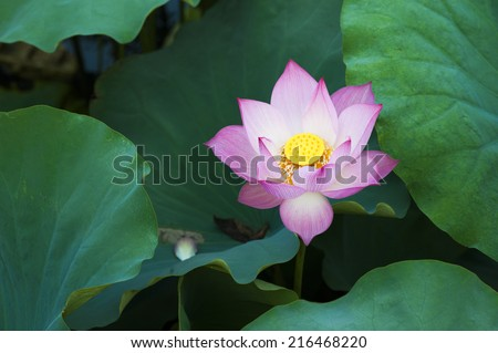 Pink lotus flower in lotus lake - stock photo