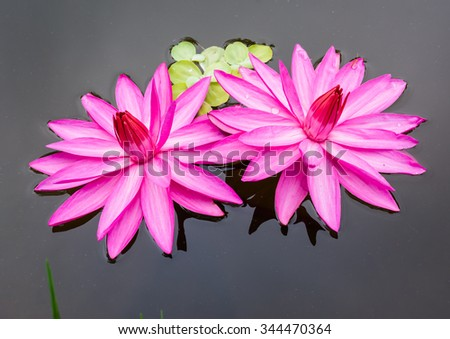 Pink lotus flower in the pool - stock photo