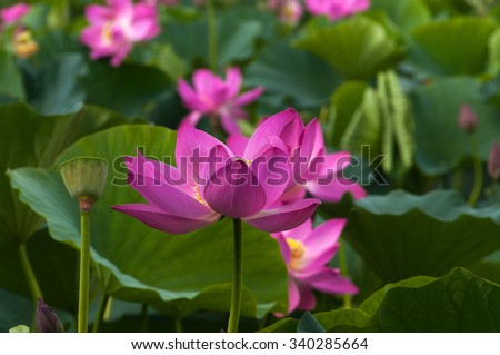 Pink lotus flower on a background of lotus pond, close-up - stock photo