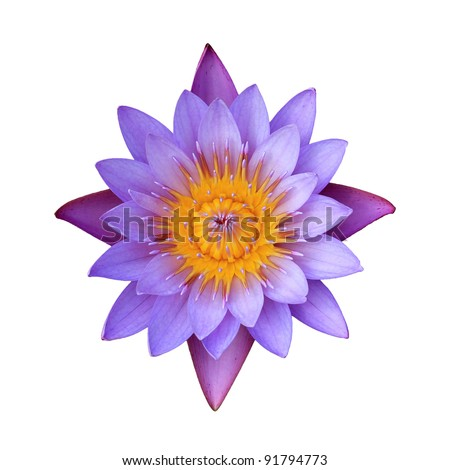 Pink lotus flower on a white background. For a background image. - stock photo
