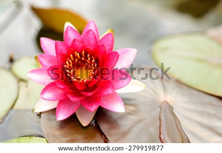 pink lotus flower on the water