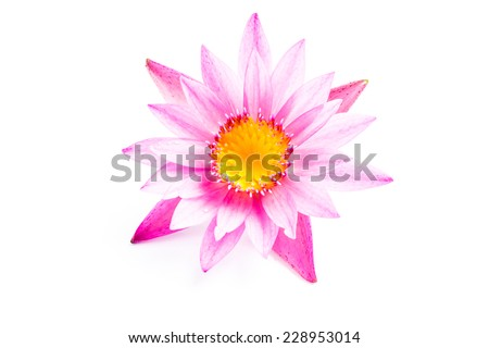Pink lotus flower on white background  - stock photo