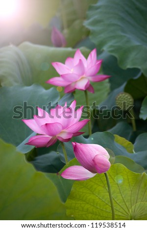 pink lotus flower, vietnam's flower