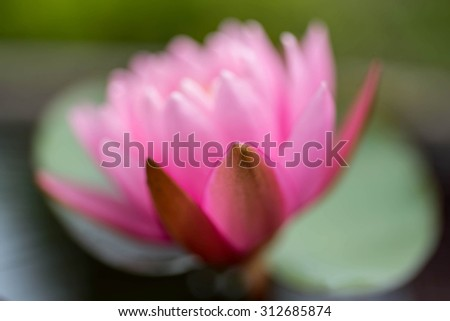 Pink lotus flowers blooming on pond,defocused for background - stock photo