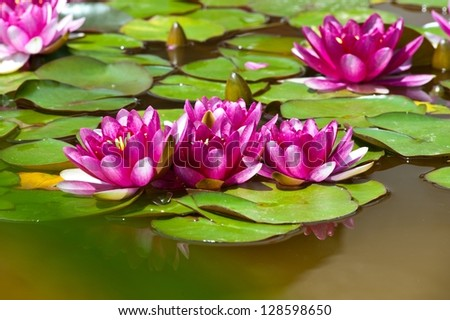 pink lotus flowers in bloom - stock photo