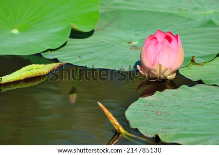 Pink lotus flowers in bloom in the lake - stock photo