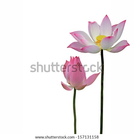 Pink lotus flowers isolated on white background