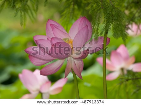 Pink lotus flowers, nelumbo nucifera