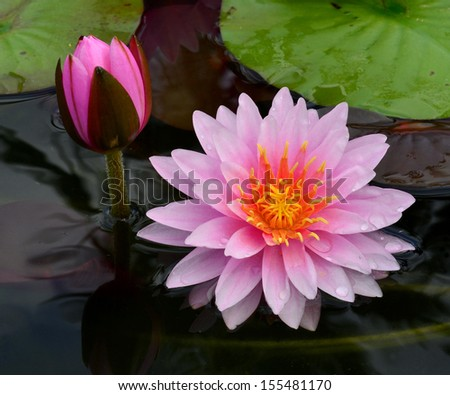 Pink lotus flowers or waterlily with burgeon surrounded by its leafs