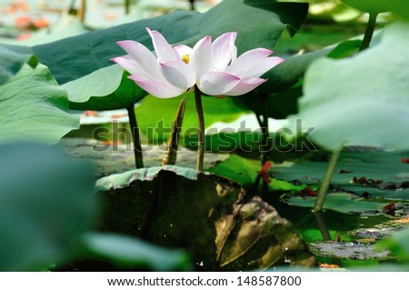 Pink lotus in a pond.