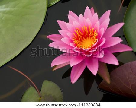 Pink Lotus in pond - stock photo