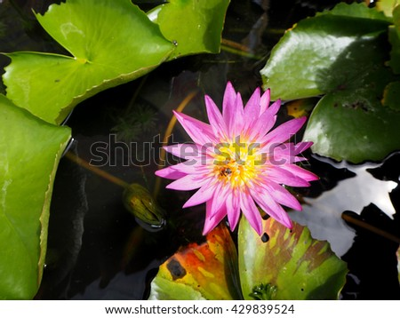 Pink Lotus in Thailand - stock photo