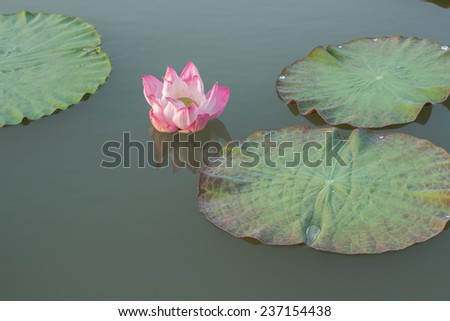 Pink lotus in the pool - stock photo