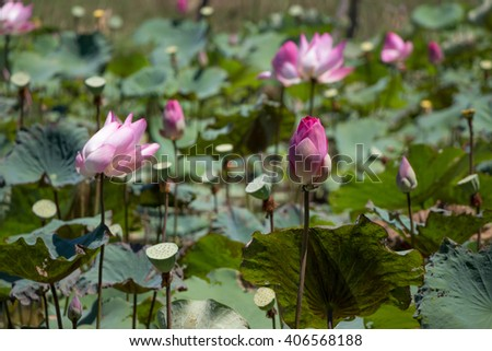Pink lotus in the water lilies