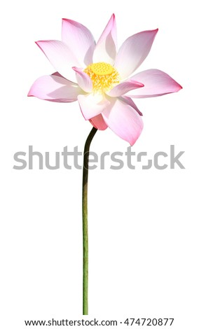 Pink lotus isolated on white background