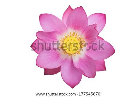 pink lotus isolated white background - stock photo