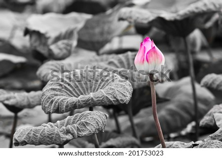 Pink Lotus on Black and White Background