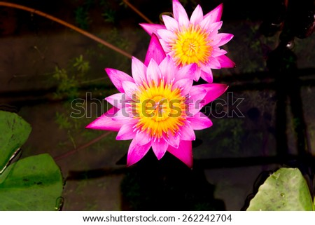 Pink lotus or Pink water lily on the pond - stock photo