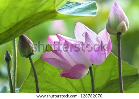 pink lotus under green umbrella - stock photo