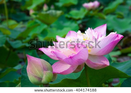 Pink lotus with colorful petal, Background are green leaf.