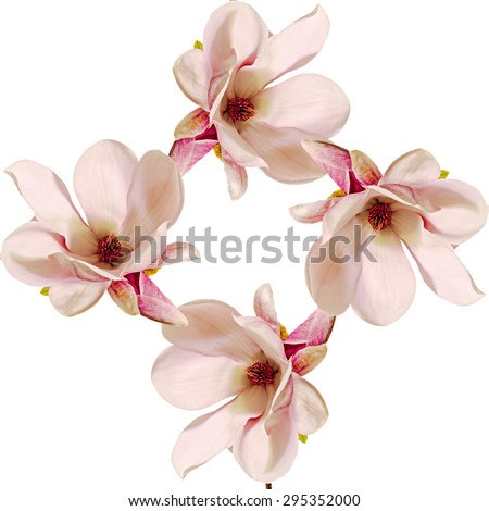 Pink Magnolia branch flowers, close up, colored background, isolated. - stock photo