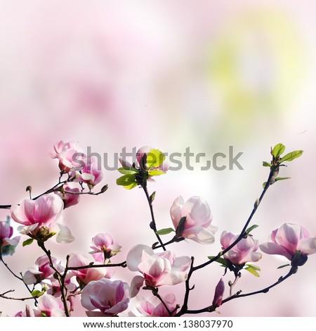 pink magnolia flower - stock photo