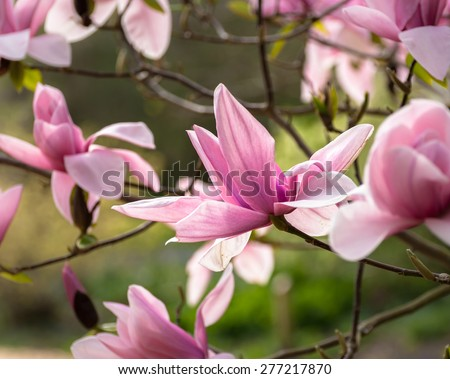 Pink Magnolia flower about to open in spring. - stock photo