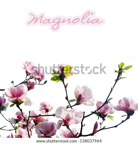 pink magnolia flower on white background - stock photo