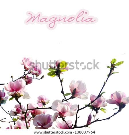 pink magnolia flower on white background - stock photo