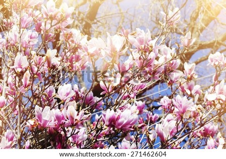 Pink Magnolia Flowers in Springtime - stock photo
