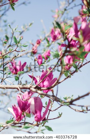Pink magnolia flowers outdoors in spring. - stock photo